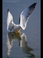 Gracefull landing by GMCPhotographics