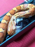 Corn Snake Clutching Mouse by Blinding-Sun