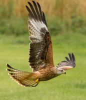 Juvenile Red Kite by Jamie-MacArthur