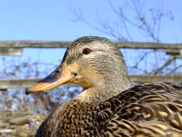 Do Quacks Echo? by Otone