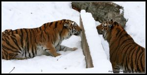 Tiger hide and seek by AF--Photography