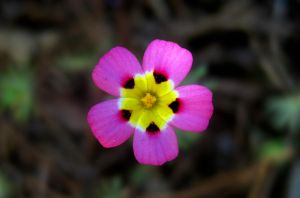 Pink and Yellow Flower by alyakmi