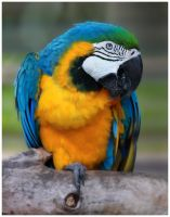 Macaw by GreenEyedHarpy