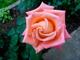 Peach rose by obreshko