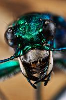 Six-Spotted Tiger Beetle III by lord-creeper