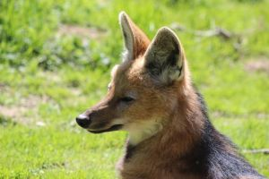 Maned Wolf 2 by lucky128stocks