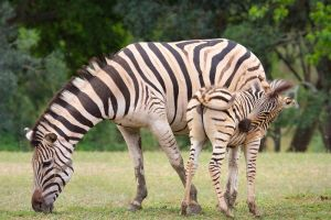 Zebra Mother With Young by Lightkast