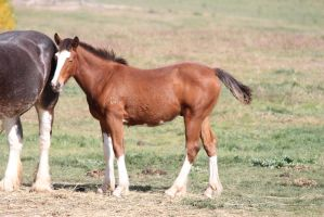 Bay Clydesdale Foal 2 by How-You-Remind-Me