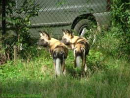 African wild dogs by Amethyst--Dragon