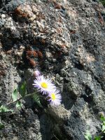 Purple Flowers and Rock by Oddstuffs
