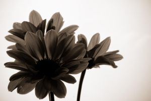 Flower Series 3 by dspittard