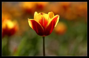 Tulip - Red - Yellow by Karl-B