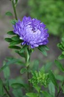 Aster by Anny78