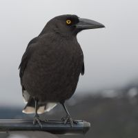Black Currawong 07 by 88-Lawstock