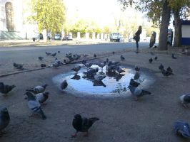 bathing pigeons by white-etihw