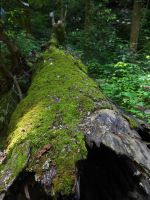 Mossy Log 6 by AlissaDStock