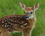 Fawn on it's birthday by natureguy