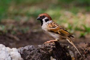 Bali Sparrow by do7slash