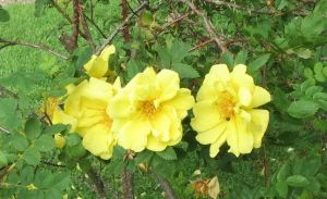 Yellow roses 1 by Kattvinge
