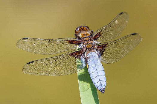broad-bodied chaser by FurrHammer