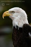 Bald Eagle by mentaldragon