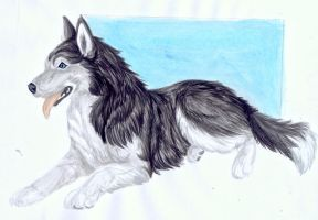 .::Husky::. by WhiteSpiritWolf