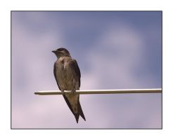Purple Martin - female by dove-51
