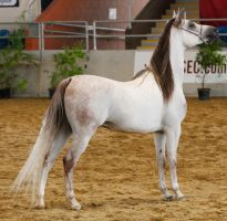 White arabian /red patches/6 by xxMysteryStockxx