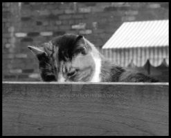 farmyard Cat by rockgem