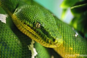 Green Tree Python 1 by poetcrystaldawn