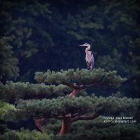 Heron at Japanese Island by Karl-B