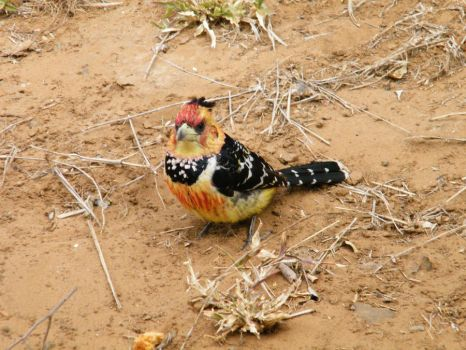 Kruger Crested Barbet by Scotocoremia