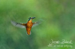 Kingfisher (Alcedo atthis) by jjbeggar