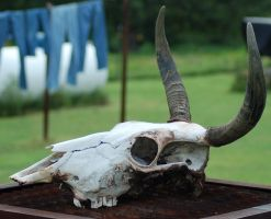 Cow Skull 2 by SalsolaStock