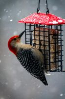 Red Bellied Woodpecker 2 by Maginater