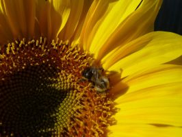2013 Sunflowers 11 by Vitacus