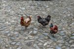 Chickens Oil paint filter by Th3R3v3nan7