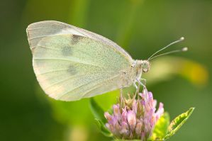 33.Pieris brassicae by Bulinko