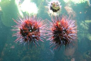 Stock 100 - Sea Urchins by pink-stock