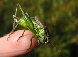 Grasshopper 3 by Garbuend