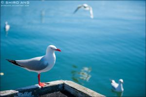 Silver Gull - 05 by shiroang