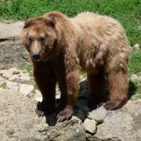 brown bear by mimose-stock