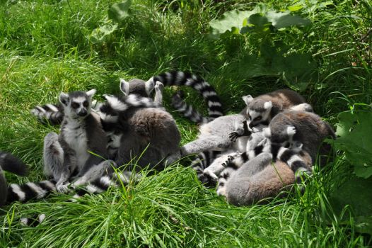 Ring-Tailed Lemurs: Crowd by MalouMagnificent