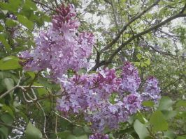 Lilacs3 by Lemonflavoredkittens