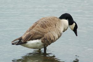 Canadian Goose by Green-Ocean-Stock