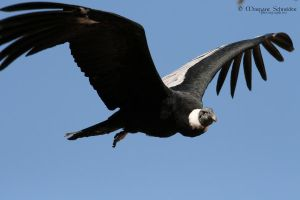 Andean Condor by MorganeS-Photographe