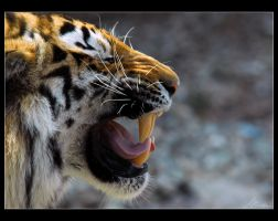 amur tiger by sicknonsens