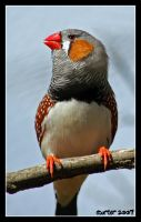 Zebra Finch 1 by carterr