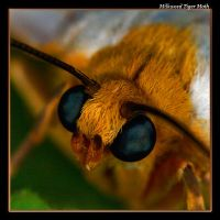 Milkweed Tiger Moth 07-2 by boron