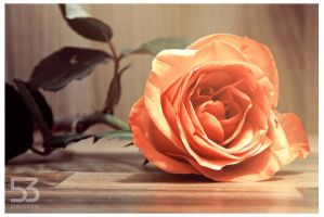 Roses III by misery53